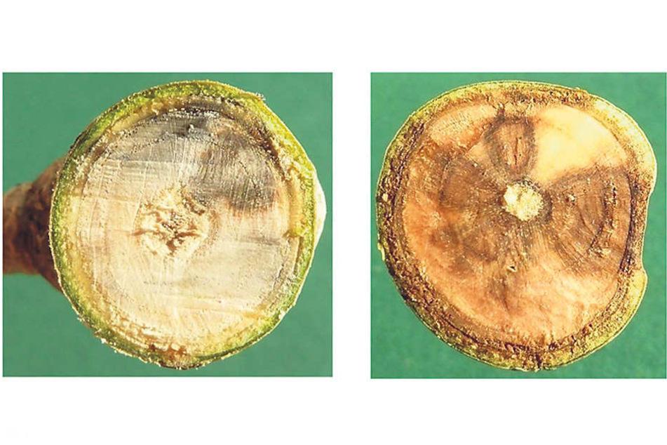 Diese Bilder eines dreijährigen (l.) und eines vierjährigen Eschentriebes (r.) verdeutlichen das Vordringendes Pilzes im Holzkörper