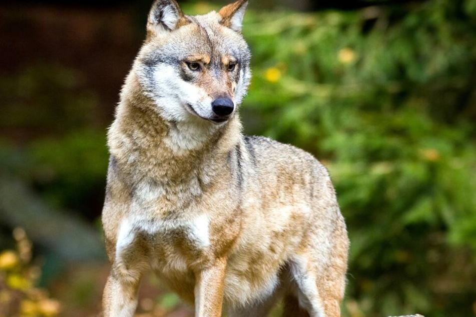 Ein Wolf reibt in Dithmarschen sein Unwesen.