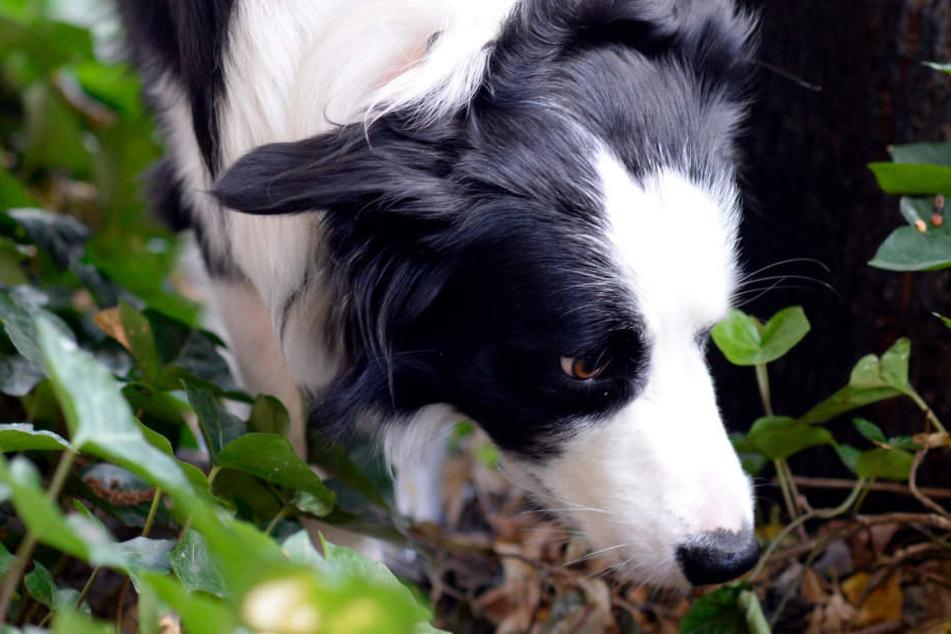 Ein Hund wurde durch vier Reißzwecken in dem Köder verletzt. (Symbolbild)