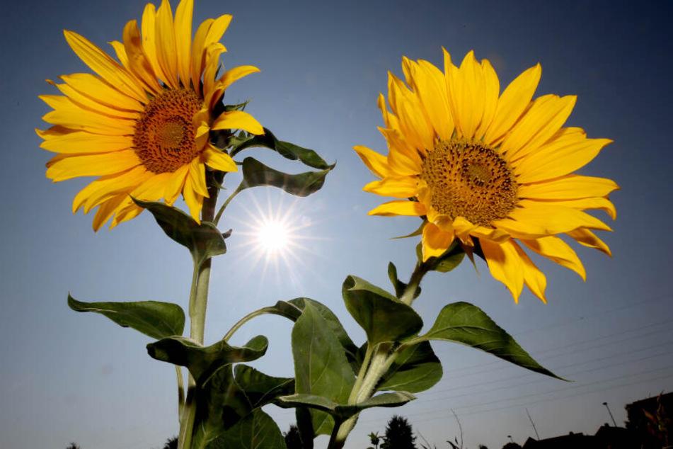 Der Mann hatte sich Sonnenblumen ins Haar geflochten (Symbolfoto).