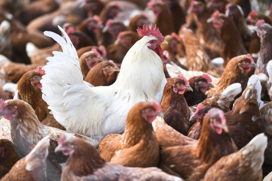 Ein weißer Hahn steht in einer Schar von braunen Hühnern. Die Vogelgrippe war im Südwesten wochenlang auf dem Vormarsch, nun scheint sie nach Dutzenden von Ausbrüchen zunächst weitgehend gebannt.