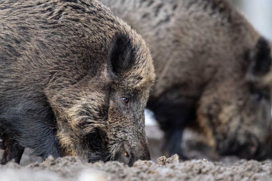 Wildschweine machen Landwirten in Bayern mitunter schwer zu schaffen.