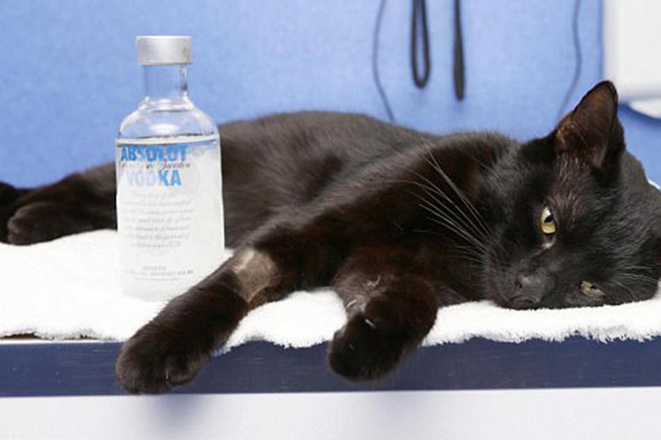 Kurz bevor sie stirbt, geben Ärzte dieser Katze Wodka zu trinken und retten damit ihr Leben
