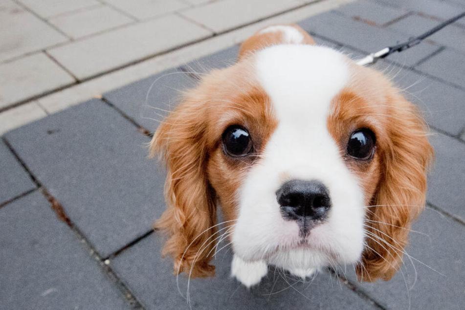 Hund ist zehn Minuten ohne Herzschlag, dann kämpft er sich zurück ins Leben!