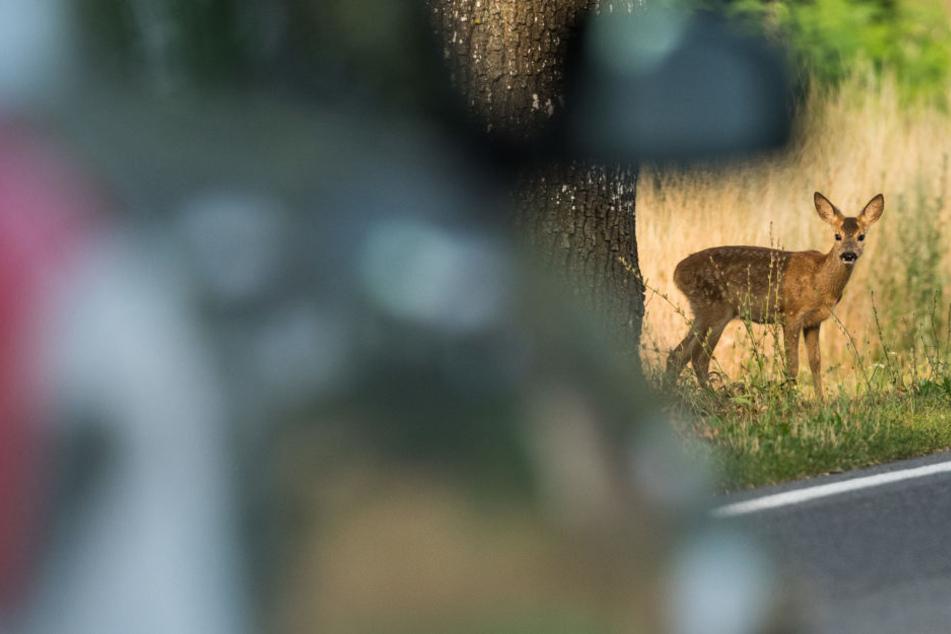 Ein junges Reh steht neben einem Alleebaum während ein Pkw vorbeifährt. Rehwild verursacht in Sachsen die meisten Wildunfälle.