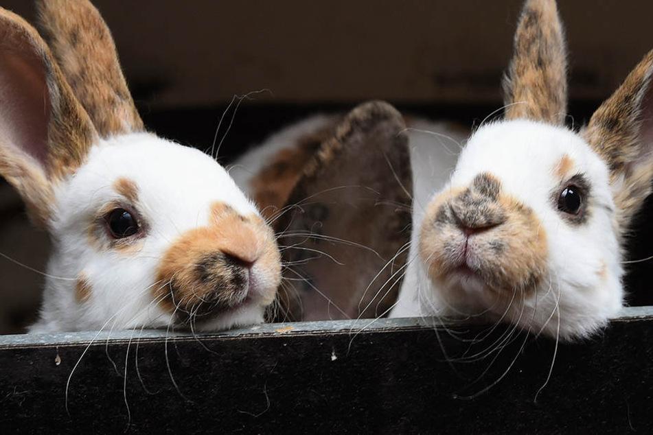 Gefährliches Kaninchen-Virus tötet Tiere innerhalb weniger Stunden!