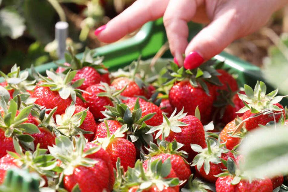 Die ersten Erdbeeren aus dem Norden kommen nun in den Handel.