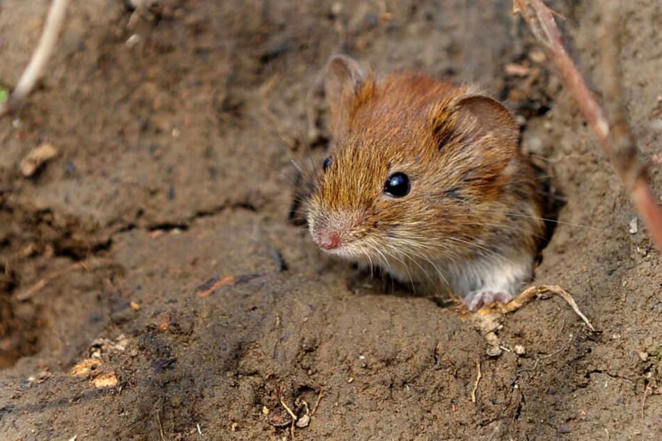 Mäuse und ander kleine Tiere sind durch Osterfeuer gefährdet. (Archivbild)