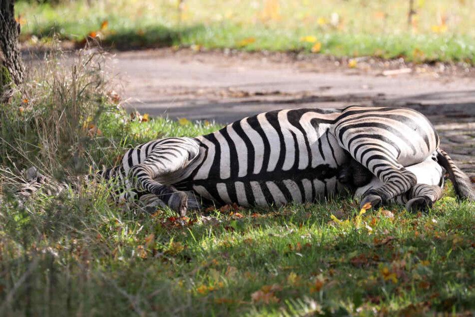 Tödliche Schüsse auf ausgebüxtes Zebra: Rostock verteidigt Vorgehen der Feuerwehr