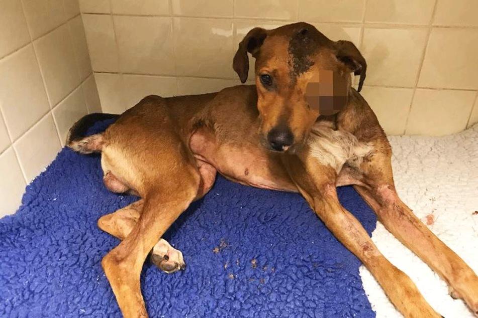 Hund verliert Auge: Vierbeiner wurde verprügelt und angezündet
