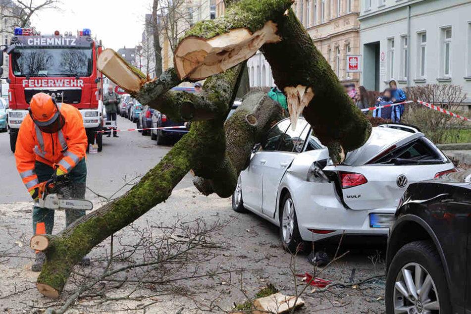 Dieser Ahorn plättete Ende Dezember mehrere Autos. Einige Besitzer werden auf den Schäden wohl sitzen bleiben.