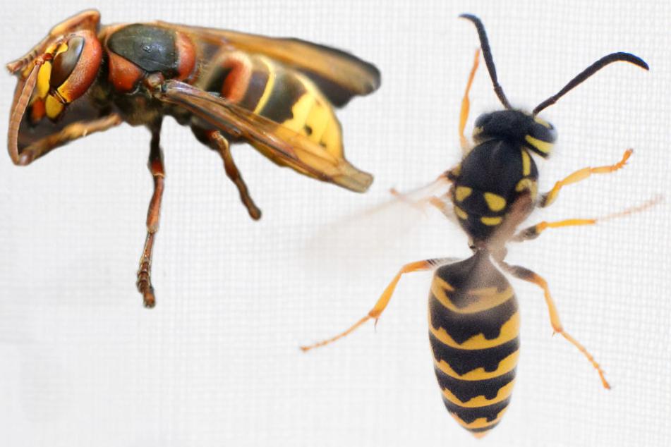 Die Zahl besorgter Sachsen wegen Hornissen (l.) und Wespen steigt. Im Leipziger Umweltamt gehen täglich zahlreiche Anrufe ein.