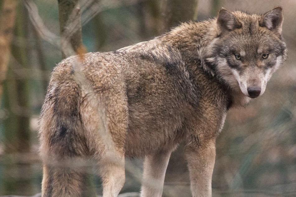 Einzelne Wölfe werden immer wieder in Hessen gesichtet (Archivbild).