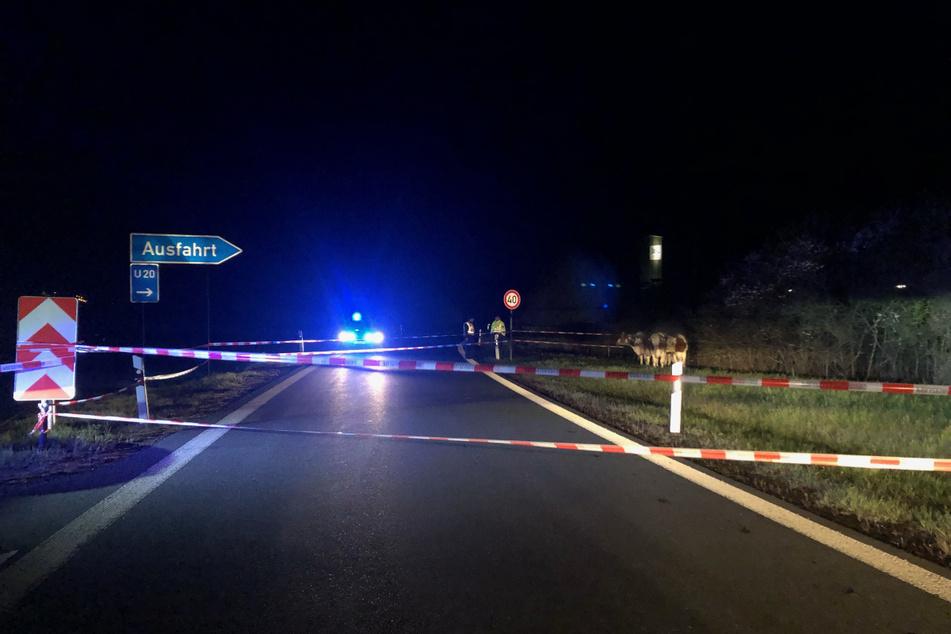 Von Weißensand über die A72 bis Plauen-Ost trampelten vier Rinder auf der Flucht vor einem Gewitter. Immerhin zwölf Kilometer.
