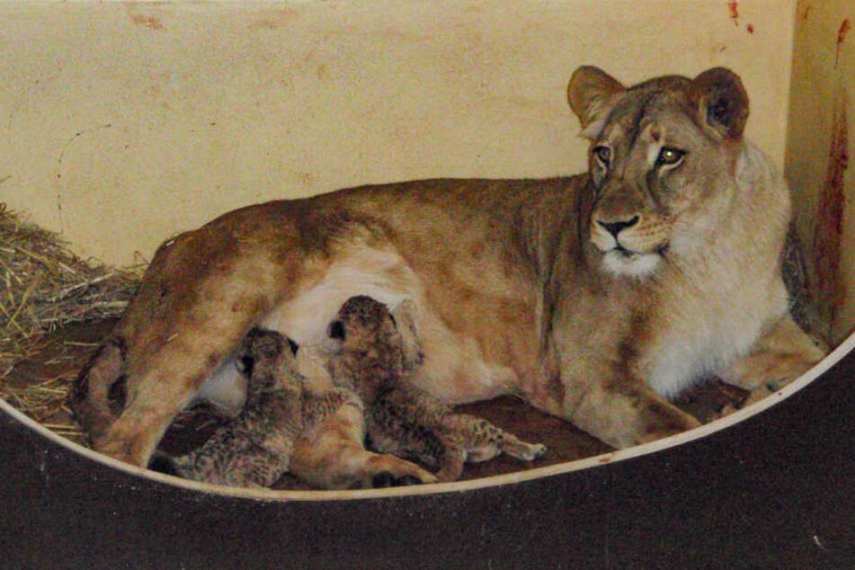 Angst im Erfurter Zoo! Löwen-Mama erleidet schwere Blutvergiftung