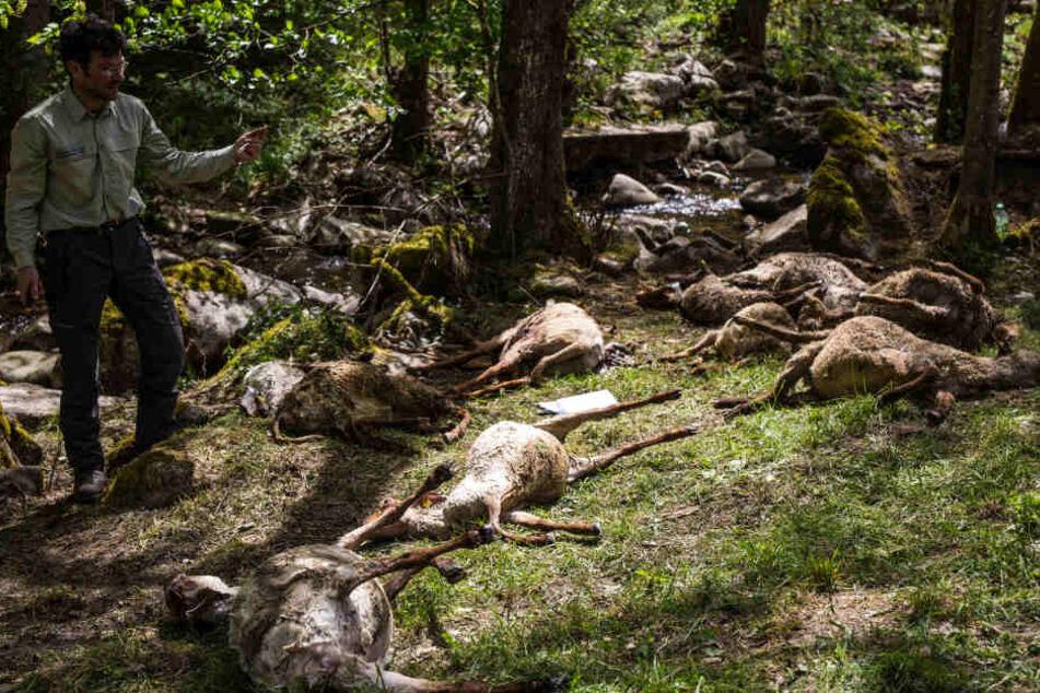 Bad Wildbad im April 2018: Nach einer Wolfsattacke waren 40 Schafe tot.