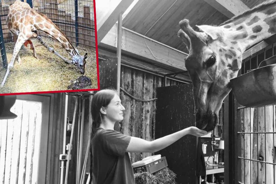 Giraffenmama und Baby bei Geburt gestorben: Todesursache wohl geklärt