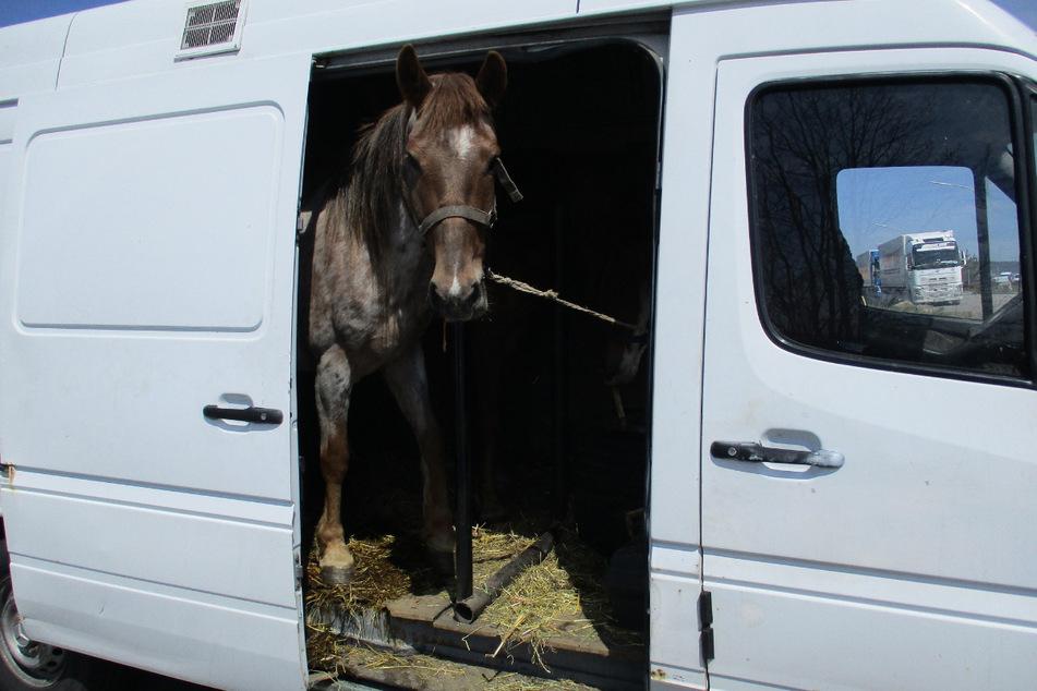 Neun Pferde in Kleintransporter gequetscht! Zoll deckt Tierquälerei auf