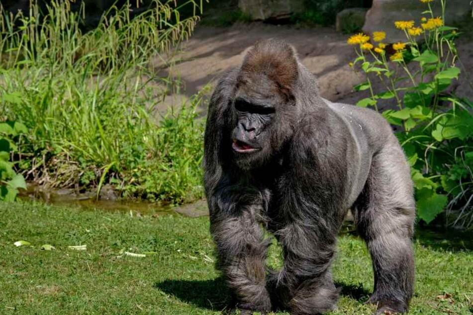Fritz wurde 1963 in Kamerun geboren und starb am 20. August im Nürnberger Zoo.