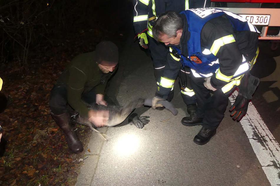 Der Schwan wurde von einem Mitarbeiter der Adlerwarte Berlebeck eingefangen.