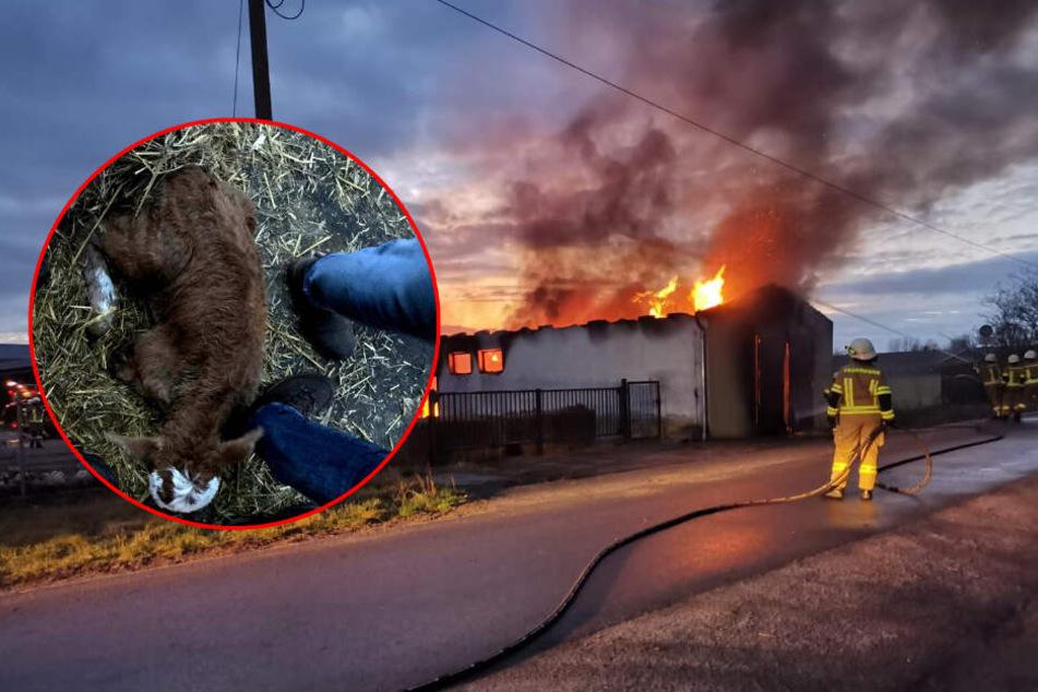 Rinderstall steht lichterloh in Flammen: Feuerwehr rettet Kälber aus Brand-Hölle