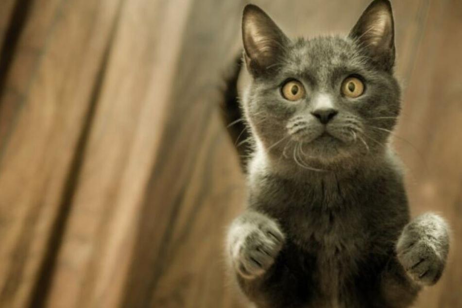 Sieben weit verbreitete Irrtümer über Katzen