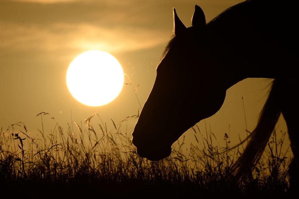 Die Pferde wurden auf einer Koppel misshandelt.