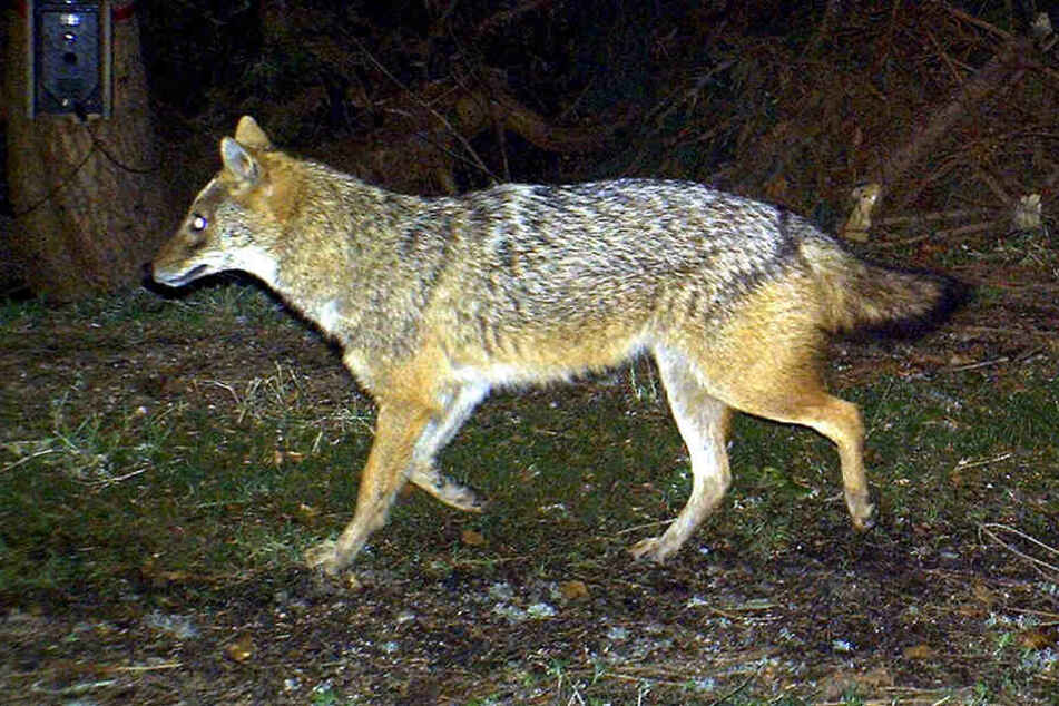 Nach dem Wolf kommt der Schakal: In Europa hat sich in den vergangenen Jahren, von der Öffentlichkeit fast unbemerkt, ein weiteres Raubtier ausgebreitet. Auch in Deutschland wurden bereits Goldschakale nachgewiesen.