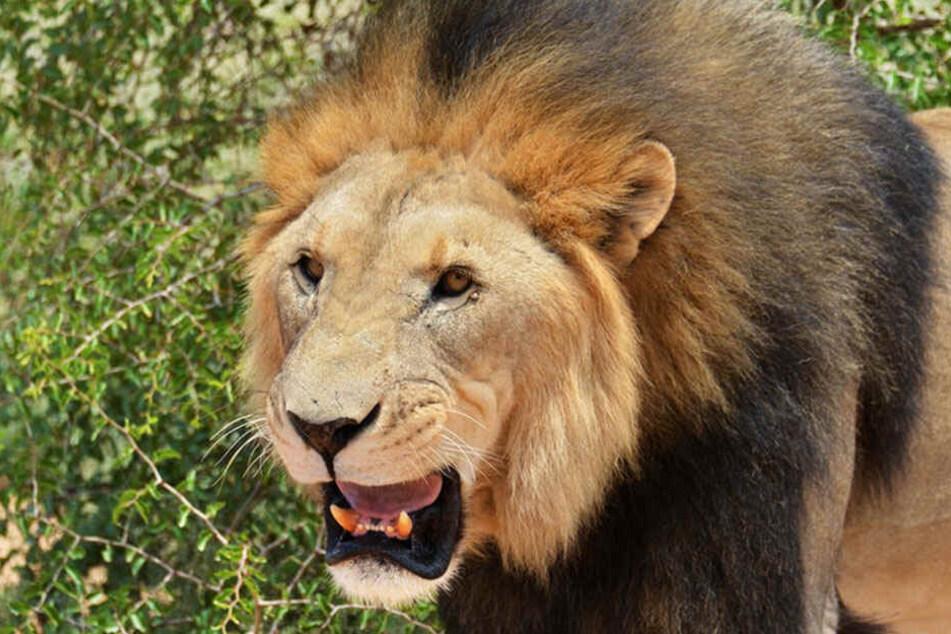 Der 34-Jährige wurde von einem Löwen getötet, den er privat in einem Gehege hielt. (Symbolbild).