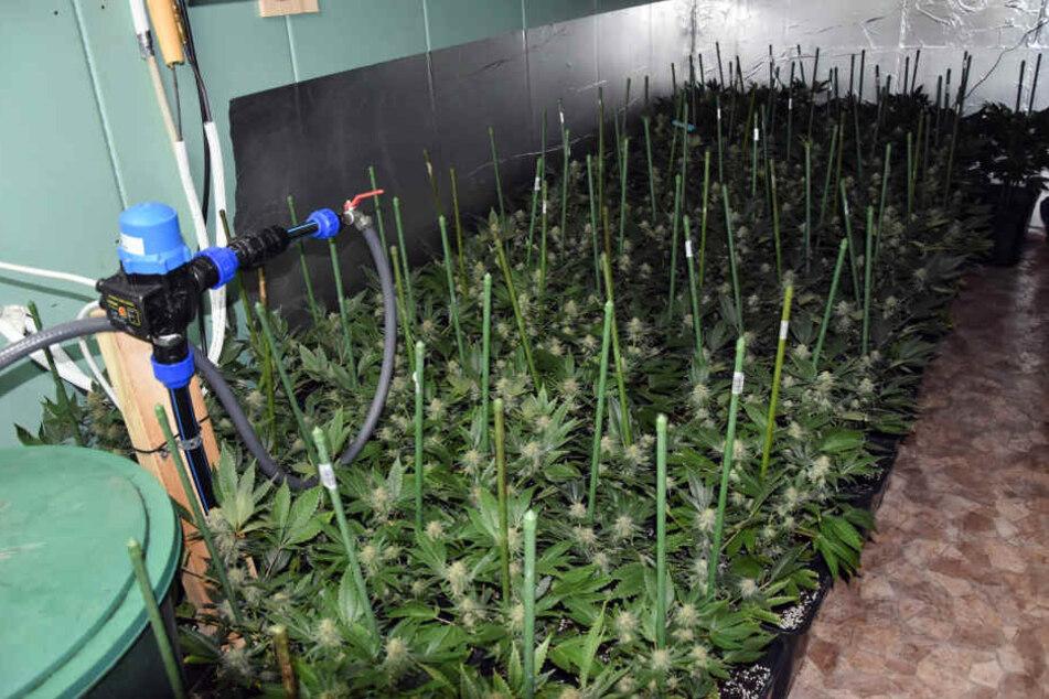 Eine ähnliche Indoor-Cannabis-Plantage konnten die Polizisten in Bad Lobenstein feststellen und hochnehmen. (Symbolbild)