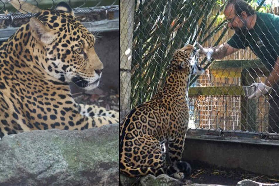 Das Jaguar-Männchen war ungefähr eine Stunde lang auf freiem Fuß.