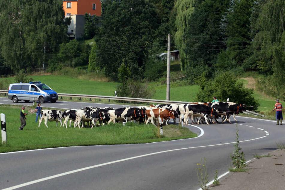 Die Rinderherde musste auf der B175 eingefangen werden