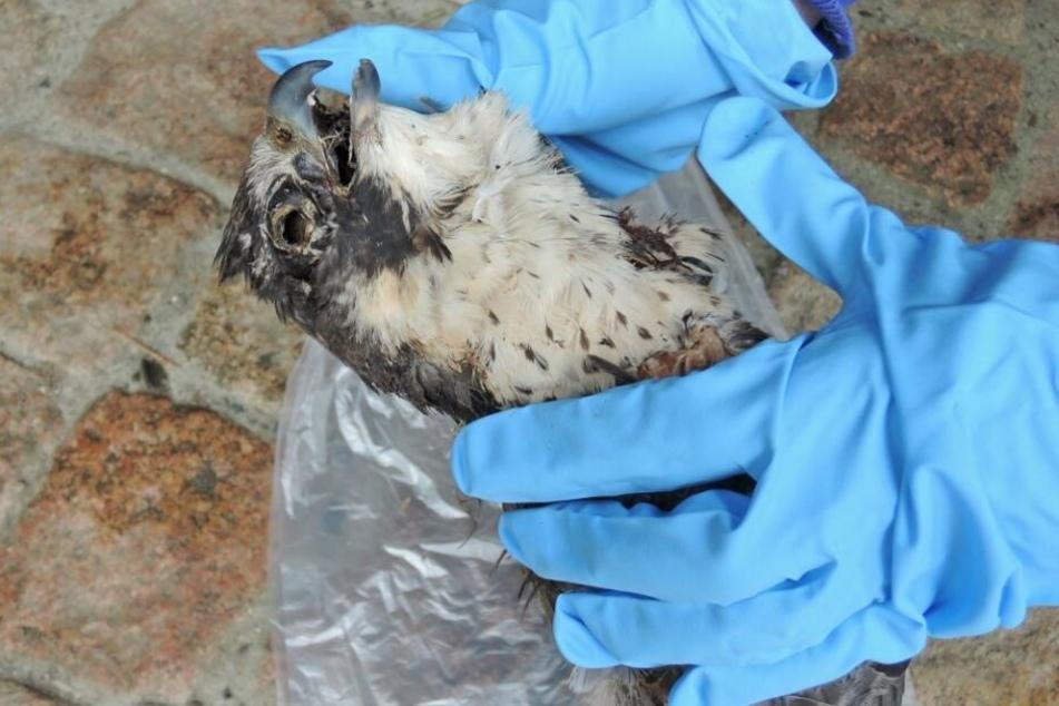 Der Wanderfalke lag wahrscheinlich schon seit Wochen tot in seinem Nest.
