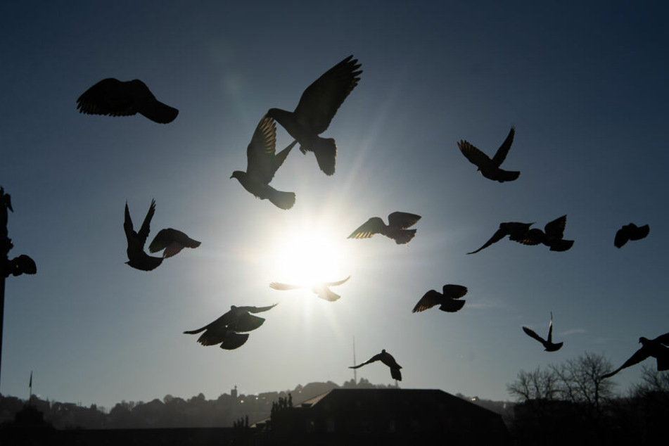 Nach einigen Tagen konnte die Taube wieder gesund und munter ausgewildert werden. (Symbolbild)