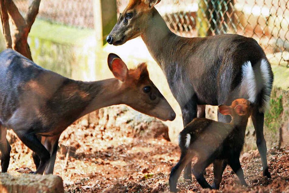 Gleich alle drei Muntjak-Hirschkühe aus dem Leipziger Zoo erwarten Nachwuchs. (Symbolbild)