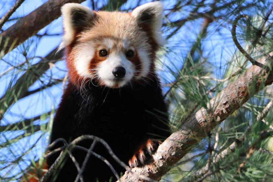 Dieser Rote Panda ist verschwunden.