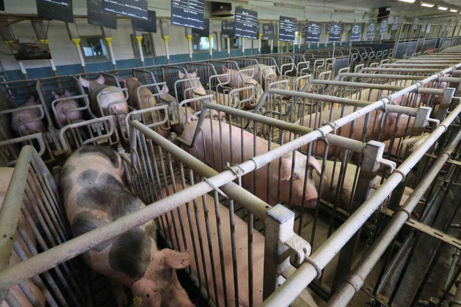 Für die Schweine sollen die Bedingungen nicht so vorschriftsmäßig wie in diesem Stall gewesen sein. (Symbolbild)