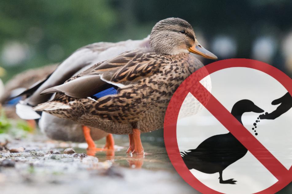 Deshalb solltest Du Enten auf keinen Fall mit Brot füttern!
