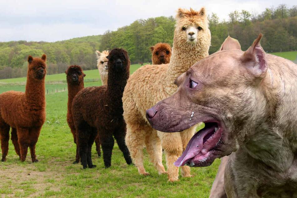 Herde angegriffen: Hund beißt Alpaka Hoden ab!