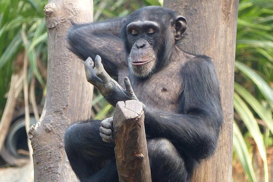 Kofis jüngerer Halbbruder Bangolo gilt ebenfalls als intelligent, nimmt sich aber zurück, wenn er unsicher ist. Auch er ist sexuell aktiv.