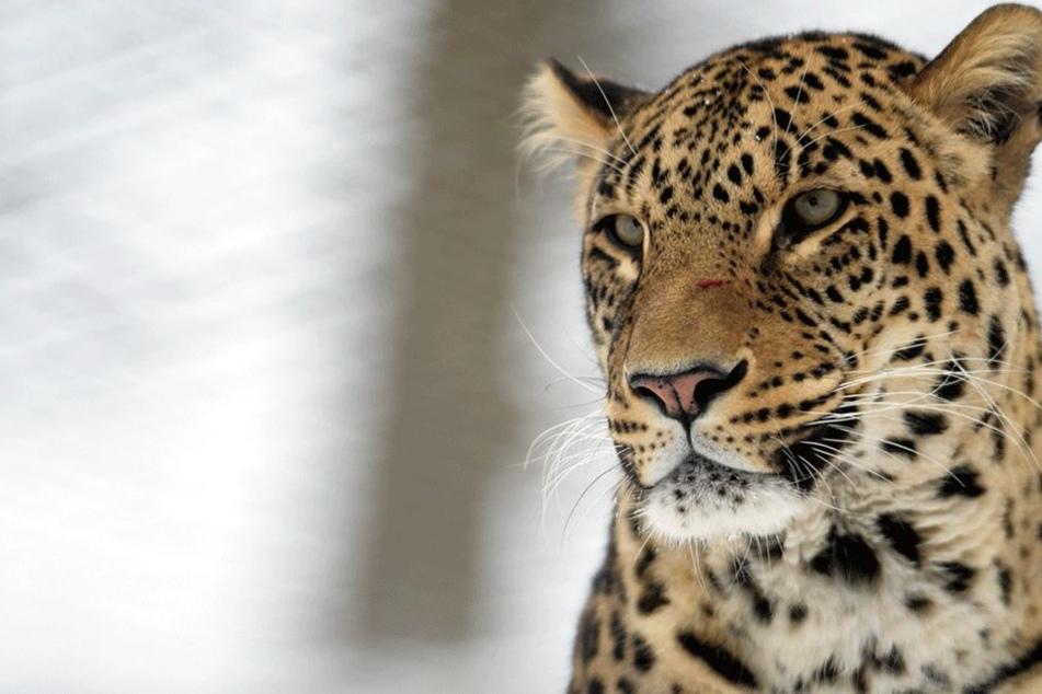 Der Leopard folgte seinen animalischen Instinkten (Symbolbild).