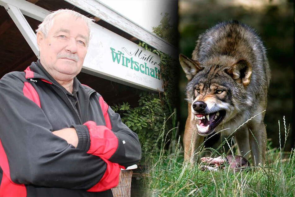 Wolf sorgt für Massaker in der Lausitz: Fünf von neun Kamerun-Schafen tot