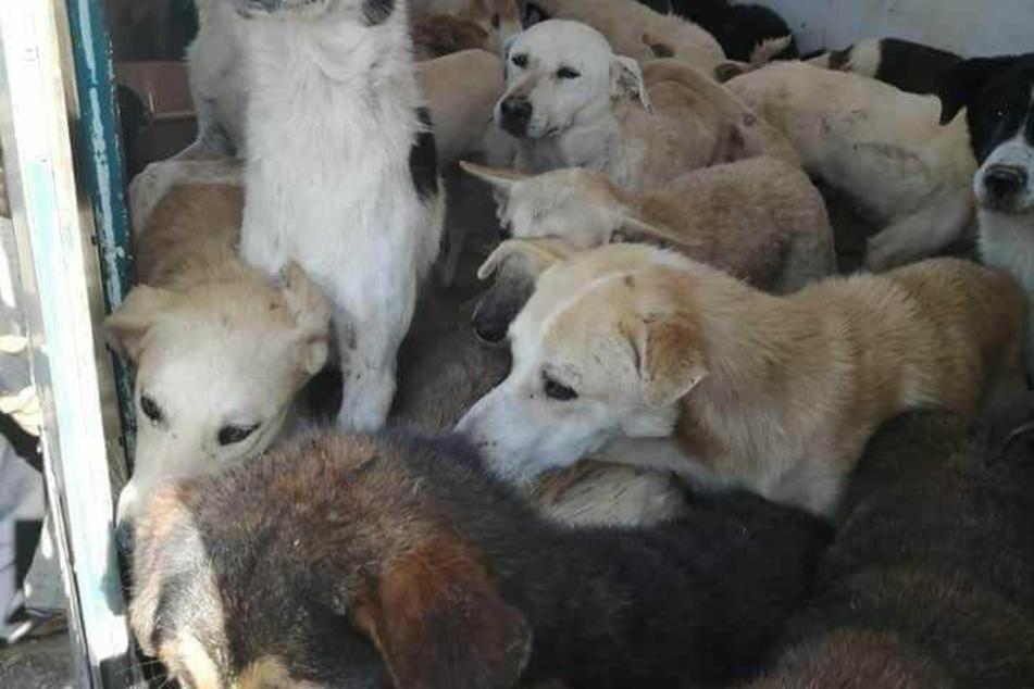 Einige der Hunde hatten Glück und konnten ins Freie fliehen. Danach wurden sie von Helfern der Tierschutzorganisation wieder eingefangen und in Sicherheit gebracht.
