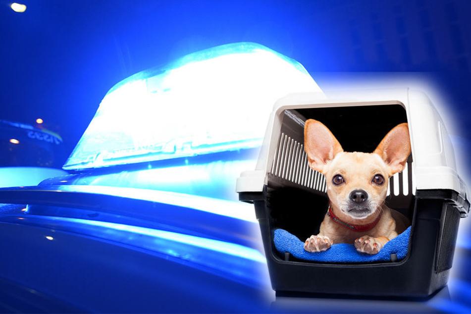 Innerhalb von 15 Minuten wurde der kleine Chihuahua aus dem Auto geklaut. (Symbolbild)