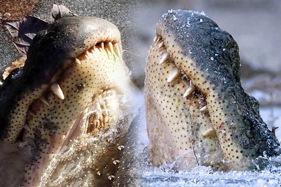 Krasse Bilder! Mehrere Alligatoren in See eingefroren