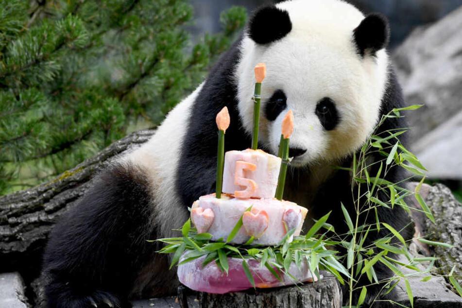 Panda-Dame schaut neugierig auf ihre Geburtstagsüberraschung.