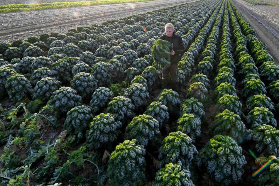 Ein Mitarbeiter erntet auf einem Feld Grünkohl nach den ersten Frostnächten.