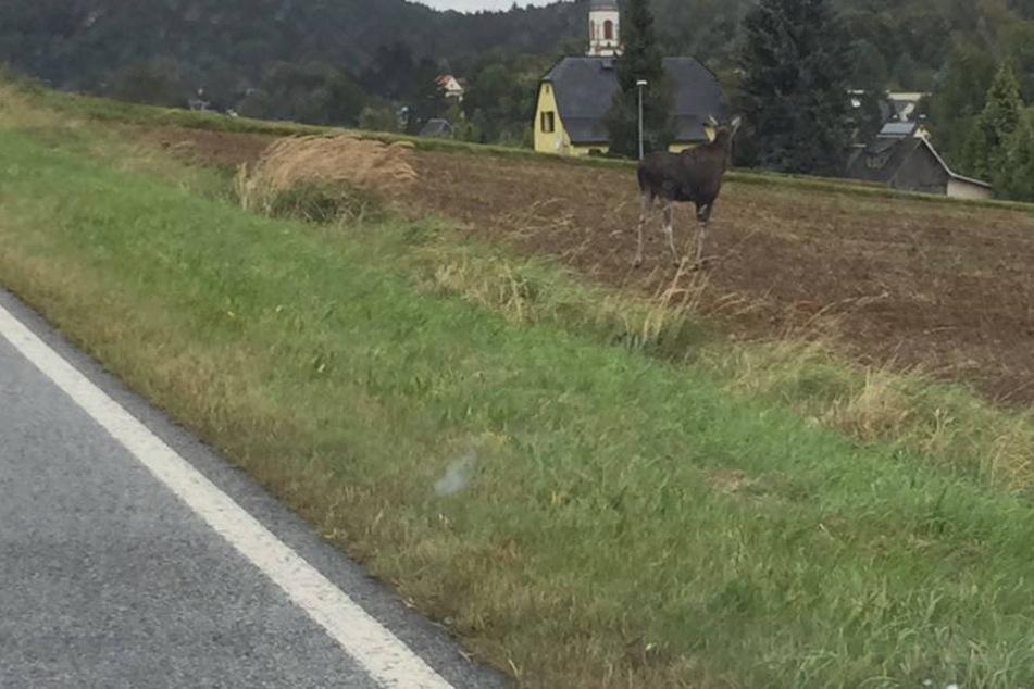 Noch ein seltenes Bild am Straßenrand: Ein junger Elch trieb sich in der Gegend von Sohland herum.