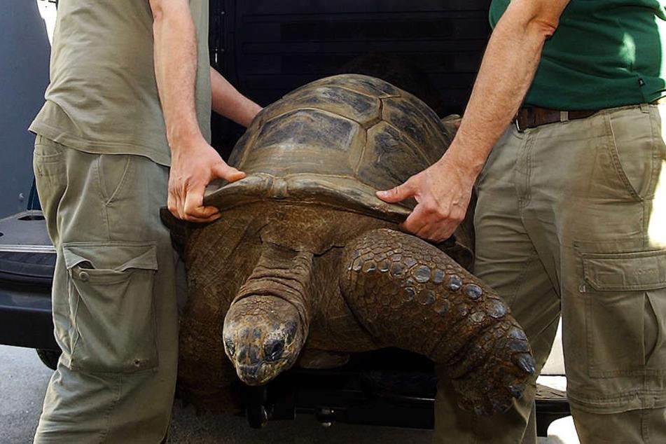 Da war die Welt noch in Ordnung: Zoo-Mitarbeiter Michael Scheffert und Michael Hoffmann luden Hugo 1 zum Wiegen aus.