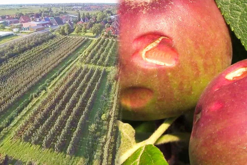 Hagel richtet massive Schäden in Deutschlands größtem Obstanbaugebiet an